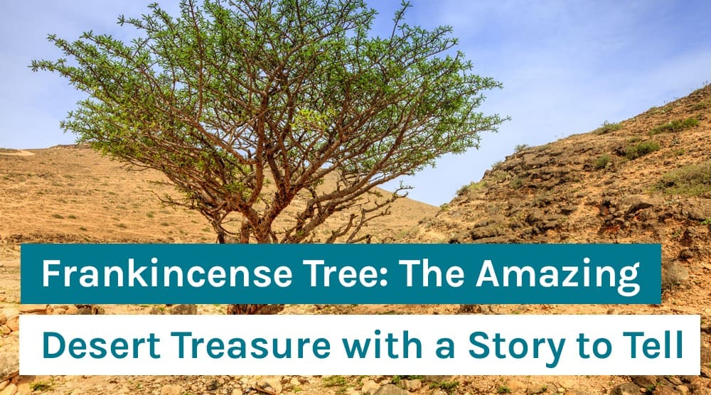 Frankincense Tree_ The Amazing Desert Treasure with a Story to Tell