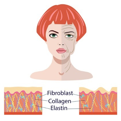 aging-face-illustration-fibroblasts-collagen-elastin