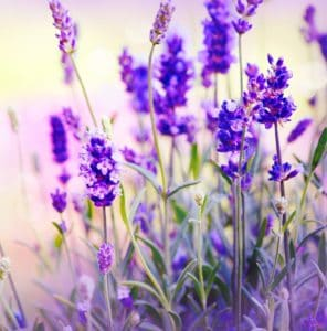 Lavender - Best Essential Oil for Anxiety